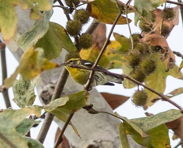 Blackburnian Warbler Setophaga fusca