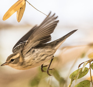 Blackburnian Warbler Del Mar Heights 2019 10 29-11.CR2
