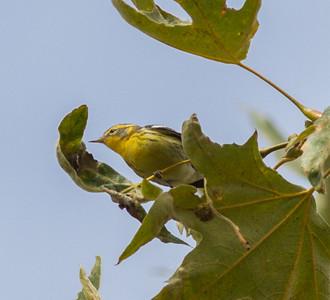 Blackburian Warbler Nestor Park San Diego  2014 10 26-3.CR2