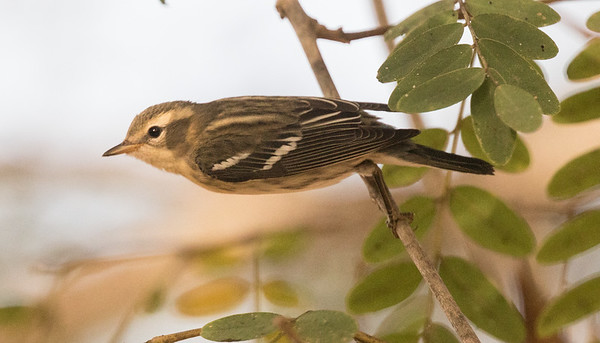 Blackburnian Warbler Del Mar Heights 2019 10 29-10.CR2