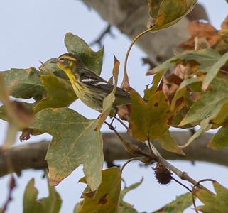 Blackburian Warbler Nestor Park San Diego  2014 10 26-2.CR2