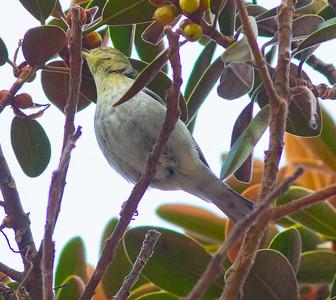 Blackpoll Warbler San Diego 2014 10 26-6.CR2