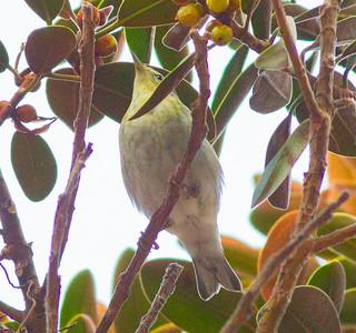 Blackpoll Warbler San Diego 2014 10 26-4.CR2