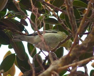 Blackpoll Warbler San Diego 2014 10 26-3.CR2