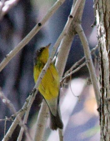 Canada Warbler  Brichim Canyon Bishop 2010 09 22 (1 of 3).CR2