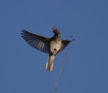 Chestnut-sided Warbler Whelan Lake Oceanside 2014 10 08 (5 of 6).CR2