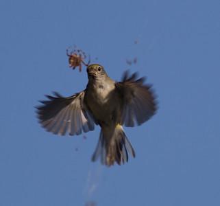 Chestnut-sided Warbler Whelan Lake Oceanside 2014 10 08 (6 of 6).CR2