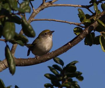 Chestnut-sided Warbler Whelan Lake Oceanside 2014 10 08 (3 of 6).CR2