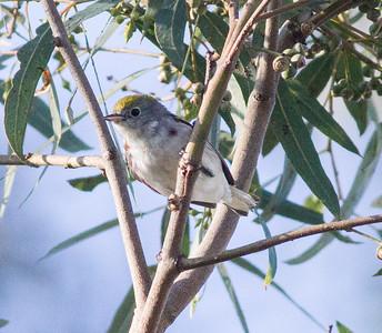Chestnut-sided Warbler Del Mar 2015 03 12-5.CR2