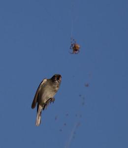 Chestnut-sided Warbler Whelan Lake Oceanside 2014 10 08 (4 of 6).CR2