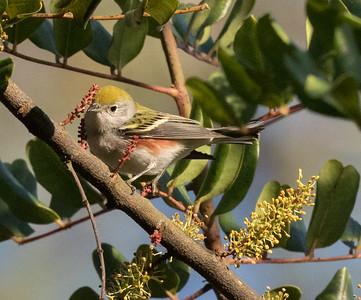 Chestnut-sided Warbler San Dieguito Park 2017 11 04-3.CR2