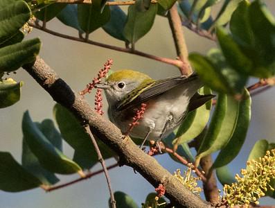 Chestnut-sided Warbler San Dieguito Park 2017 11 04-1.CR2