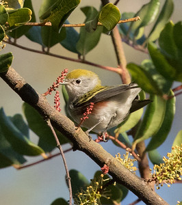 Chestnut-sided Warbler San Dieguito Park 2017 11 04-2.CR2