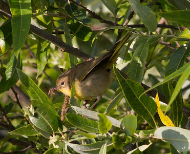 Common Yellowthroat  Batiquitos Lagoon 2011 05 20-5.CR2