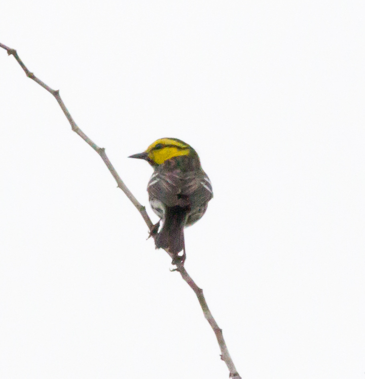 Golden-cheeked Warbler  Government Canyon State Natural Area 2012 03 24 (3 of 4).CR2