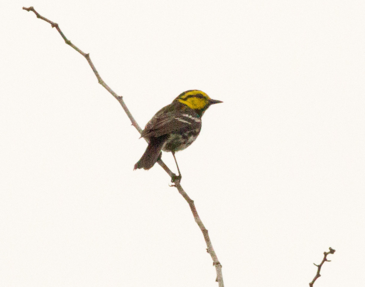 Golden-cheeked Warbler  Government Canyon State Natural Area 2012 03 24 (2 of 4).CR2