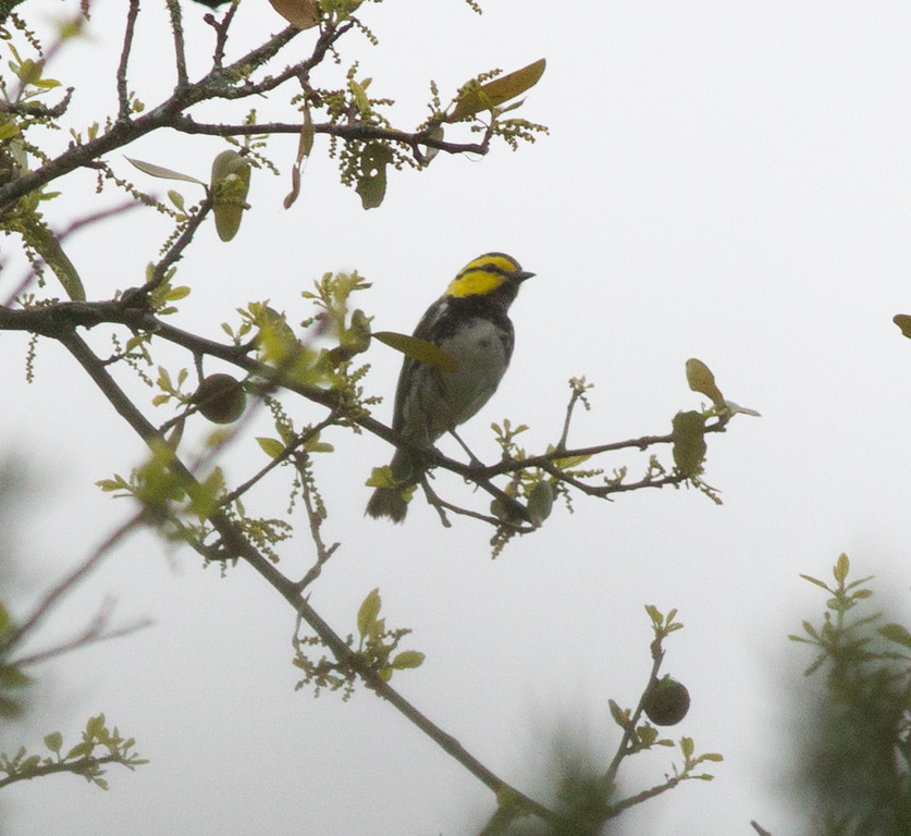 Golden-cheeked Warbler  Government Canyon State Natural Area 2012 03 24 (1 of 4).CR2