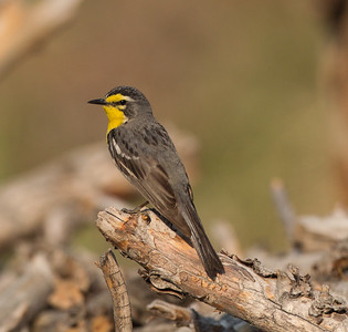 Grace`s Warbler Bald Mountain Road  Mono County 2018 06 26-5.CR2-3.CR2-6.CR2