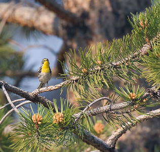 Grace`s Warbler Bald Mountain Road  Mono County 2018 06 26-5.CR2-3.CR2-1.CR2
