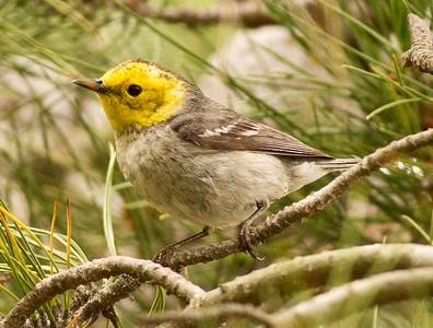 Hermit Warbler  Prince of Peace Abby Oceanside 2012 05 17 (6 of 7).CR2