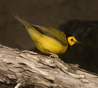 Hooded Warbler Del Mar 2017 12 04-1.CR2