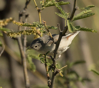 Lucy`s Warbler Tucson Mountain Park 2016 04 30-1.CR2
