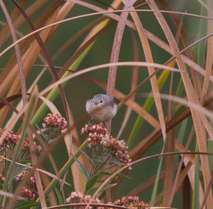 Lucy`s Warbler Warbler Stick Pond Tijuana  River Valley 2014 10 26-2.CR2
