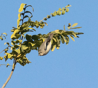 Lucy`s Warbler San Dieguito Park 2021 01 01-6.CR3