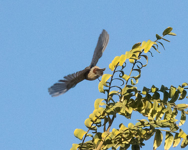 Lucy`s Warbler San Dieguito Park 2021 01 01-1.CR3