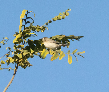Lucy`s Warbler San Dieguito Park 2021 01 01-5.CR3