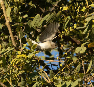 Lucy`s Warbler San Dieguito Park 2021 01 01-8.CR3