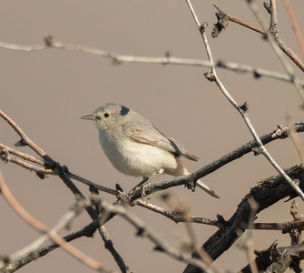 Lucy`s Warbler Tucson Mountain Park 2016 04 30-2.CR2