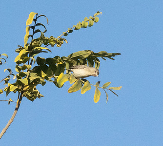 Lucy`s Warbler San Dieguito Park 2021 01 01-3.CR3