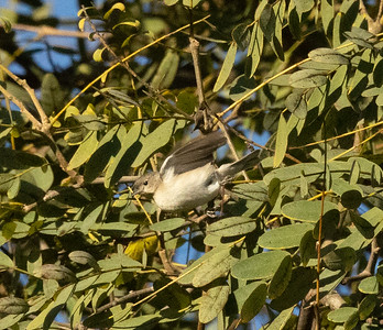 Lucy`s Warbler San Dieguito Park 2021 01 01-9.CR3