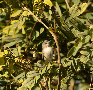 Lucy`s Warbler San Dieguito Park 2021 01 01-10.CR3