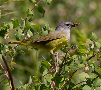 MacGilliivray`s Warbler  Mammoth Lakes 2011 07 14-2.CR2