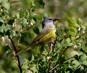MacGilliivray`s Warbler  Mammoth Lakes 2011 07 14-1.CR2