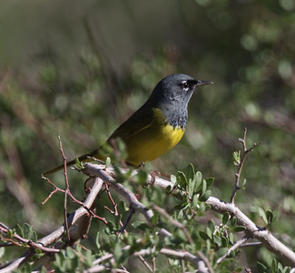 MacGillivray's Warbler Lower Rock Creek Mono County 2019 06 04-6.CR2