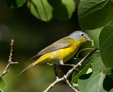 Nashville Warbler  Mammoth Lakes 2013 06 14 (7 of 7).CR2