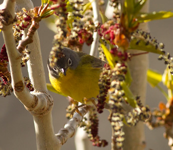 Nashville Warbler Convict Lake 2014 04 23-2.CR2