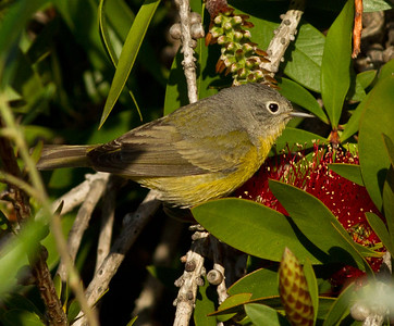Nashville Warbler  Rosacrutian Fellowship Oceanside 2012 04 16-2.CR2