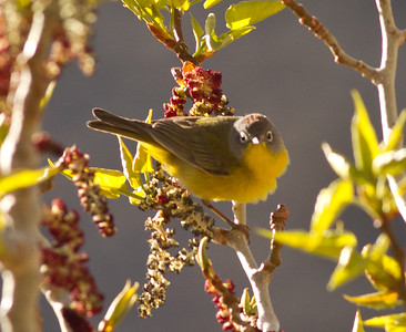 Nashville Warbler Convict Lake 2014 04 23-1.CR2
