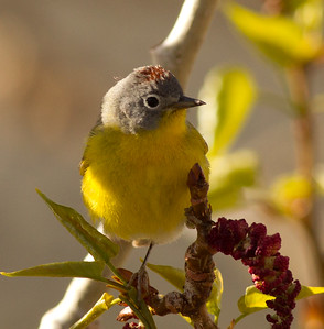 Nashville Warbler Convict Lake 2014 04 23-4.CR2