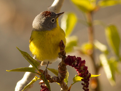 Nashville Warbler Convict Lake 2014 04 23-5.CR2