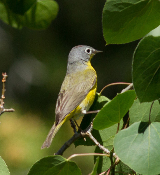 Nashville Warbler  Mammoth Lakes 2013 06 14 (5 of 7).CR2
