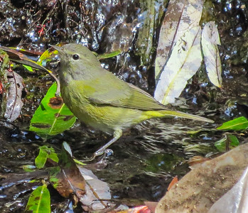 Orange-crowned Warbler San Luis Rey Oceanside 2014 09 13 (1 of 2).JPG