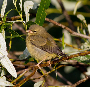 Orange-Crowned Warbler  San Luis Rey Oceanside 2011 05 25-3.CR2