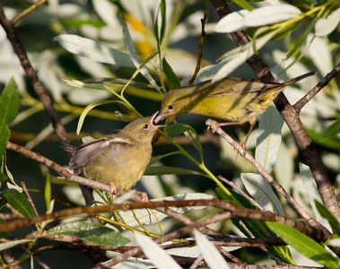Orange-Crowned Warbler  San Luis Rey Oceanside 2011 05 25-4.CR2