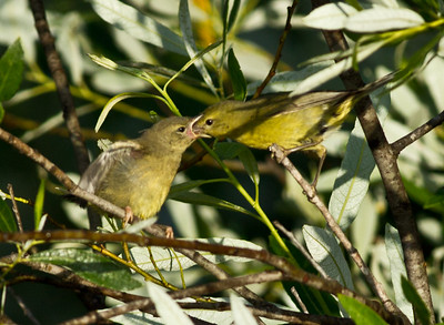Orange-Crowned Warbler  San Luis Rey Oceanside 2011 05 25-5.CR2