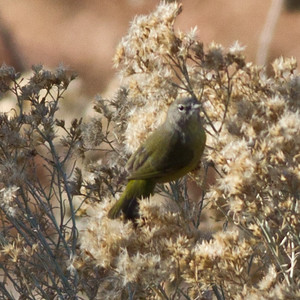Orange-crowned Warbler  Orestera   Bishop 2012 12 15 (3 of 3).CR2